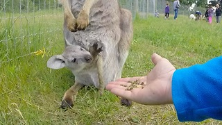 Baby wallaby is hand-fed from mother's pouch - Video