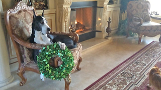 Funny Great Dane is over Christmas Decorating  - Video