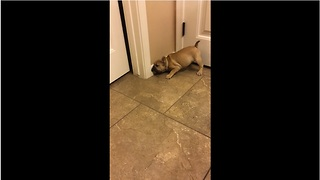 French Bulldog puppy loses it on doorstop - Video