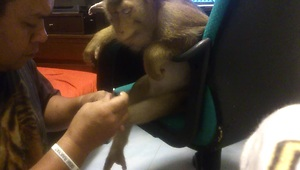Patient monkey gets her nails cut - Video