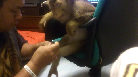 Patient monkey gets her nails cut