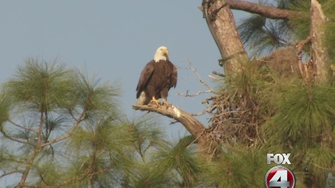 SWFL bald eagles await arrival of two eaglets.