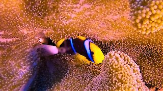 Gorgeous clownfish make a home among creatures that are deadly to other fish