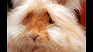 World's Weirdest Rabbits - Video