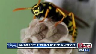 Insects confused for murder hornets in Nebraska