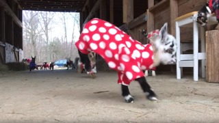Newborn Goats Have the Greatest Pajama Party Ever - Video