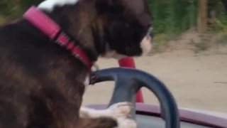 Boston Terrier demonstrates driving skills - Video