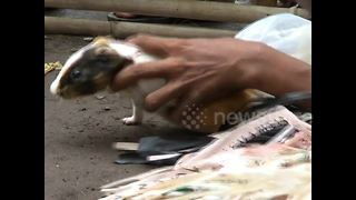 Can't afford a racehorse? How about a racing guinea pig? - Video