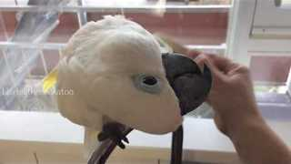 Cockatoo Enjoys Beauty Treatment With Brush - Video