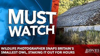 Wildlife photographer snaps Britain's smallest owl, staking it out for hours - Video