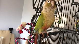 Conure sings and dances to the beat - Video