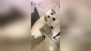Dog hilariously slips and slides in new shoes