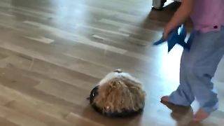 Guinea Pig goes on thrilling Roomba ride - Video