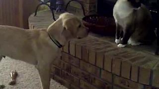 Dog Can't Take A Hint That Cat Won't Play With Him - Video