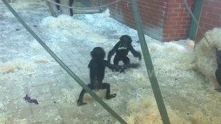 Super cute baby bonobos larking around - Video