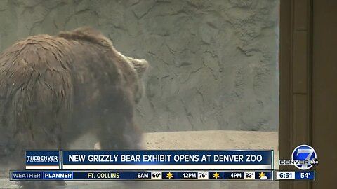 Grizzly bears at Denver Zoo explore new exhibit