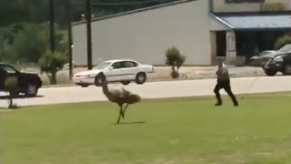Emu Causes Havoc in Rainsville, Alabama - Video