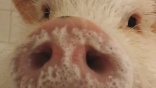 Happy pig gets bubble bath before birthday party - Video