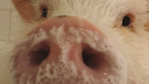 Happy pig gets bubble bath before birthday party