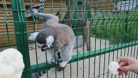 Lemur breaks free from cage at zoo and startles onlookers