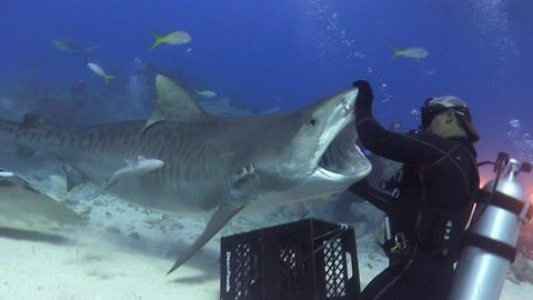 Checking her jaws? Diver appears to give tiger shark a dental check up underwater