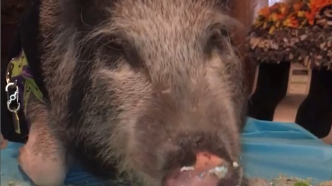 A Pig Celebrates A Birthday With Cake