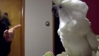 Cockatoo engages in hilarious argument with owner - Video