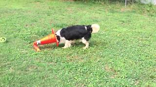 Funny Dog Plays With A Traffic Cone