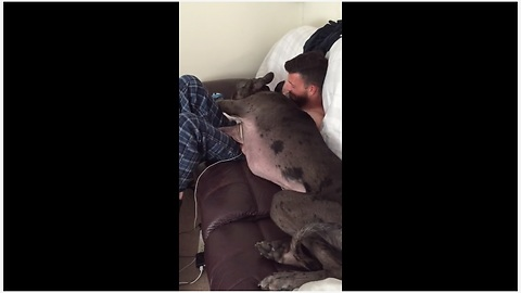 Cuddly Great Dane Tries To Squeeze Into Owner's Lap