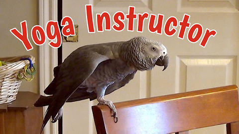 Yoga Instructing Parrot Demonstrates Relaxing Poses