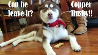 How long can a husky wait for a treat? - Video