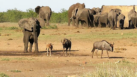 "Cheeky Elephant chases animals from ""his"" watering hole"