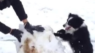 Dog helps her owner build a snowman - Video