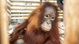 Baby Orangutan Rescued From Small Crate After Four Years In Illegal Captivity