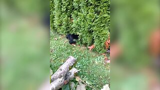 Adorable Puppy Tries to Get Past a Hedge