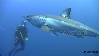 Divers swim with blue and mako sharks off Cape Point, South Africa - Video