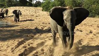 Young elephant charges safari vehicle to show who's boss