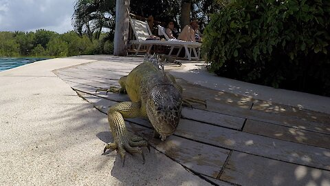 Huge Iguana Mistakes Pool Tile As A Snack
