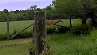 Deer makes beautiful leap over high fence to join farm animals