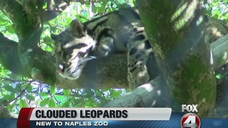 Clouded leopard cubs at Naples Zoo - Video