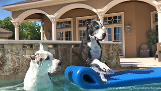 Happy Great Danes Jump into the Pool and onto Floatie  - Video