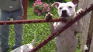 """Bellevue city council introduces ordinance requiring muzzles for """"bully breeds"""""""