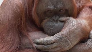 Orangutan Drinking Her Own Milk - Video
