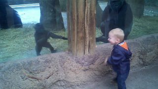 Little Boy Plays Peek A Boo With A Baby Gorilla
