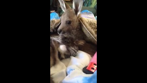 Baby kangaroo lovingly grooms her kitty cat best friend