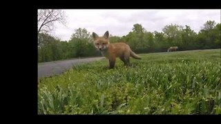 GoPro Captures Family of Playful Foxes in Garden - Video