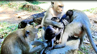 Baby Monkey Want To Nurse But Mom Don't Want To Give - Video