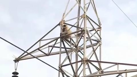 Monkey makes breathtaking 100-foot leap from transmission tower