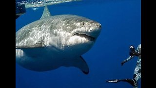 Great White Shark Dwarfs Divers in Close Encounter off Hawaii