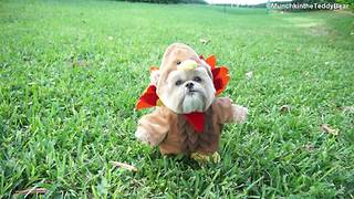 Happy Thanksgiving from Munchkin the Teddy Bear! - Video